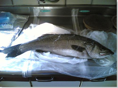 スズキ シーバス 2本目 65cm 20061103