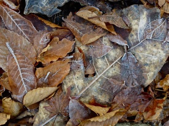 でかいのはホウノキの葉