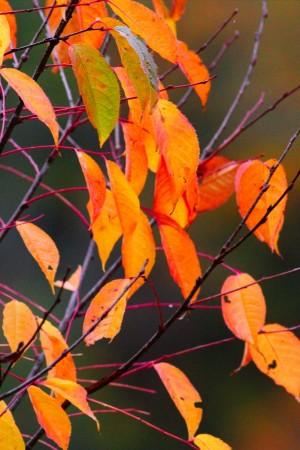 山肌の燃えるような紅葉もいいけど、低木のシンプルなのが好き